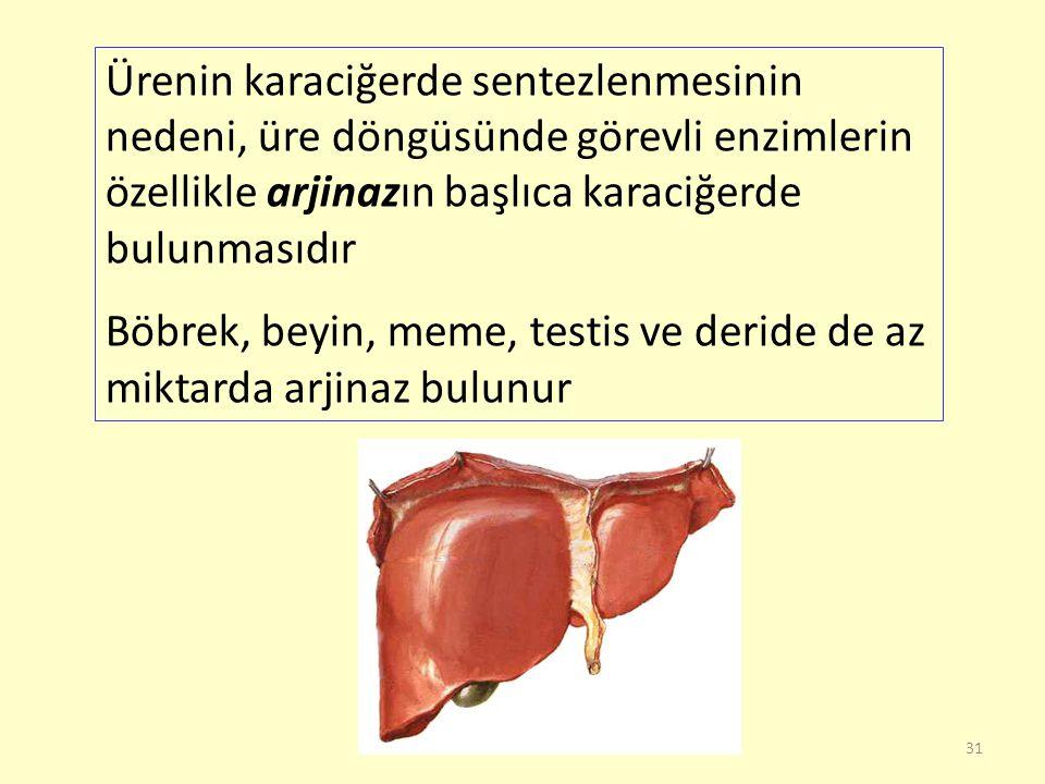31 Ürenin karaciğerde sentezlenmesinin nedeni, üre döngüsünde görevli enzimlerin özellikle arjinazın başlıca karaciğerde bulunmasıdır Böbrek, beyin, m