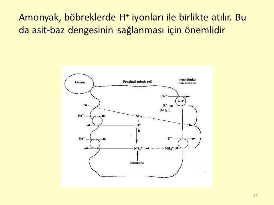 33 Amonyak, böbreklerde H + iyonları ile birlikte atılır. Bu da asit-baz dengesinin sağlanması için önemlidir