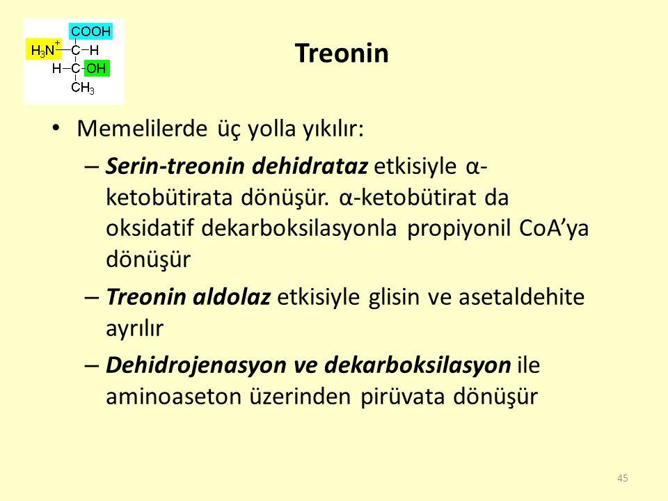 45 Treonin Memelilerde üç yolla yıkılır: – Serin-treonin dehidrataz etkisiyle α- ketobütirata dönüşür. α-ketobütirat da oksidatif dekarboksilasyonla p