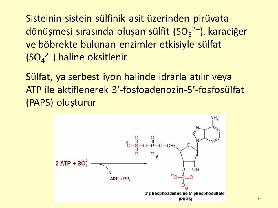 47 Sisteinin sistein sülfinik asit üzerinden pirüvata dönüşmesi sırasında oluşan sülfit (SO 3 2  ), karaciğer ve böbrekte bulunan enzimler etkisiyle