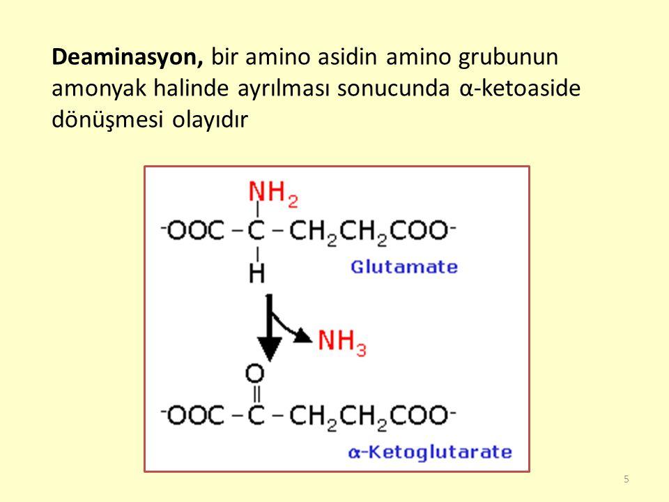 5 Deaminasyon, bir amino asidin amino grubunun amonyak halinde ayrılması sonucunda α-ketoaside dönüşmesi olayıdır