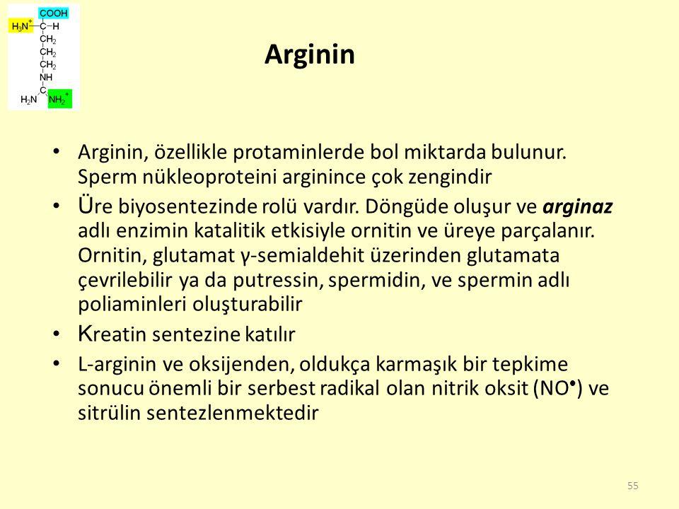 55 Arginin Arginin, özellikle protaminlerde bol miktarda bulunur. Sperm nükleoproteini arginince çok zengindir Ü re biyosentezinde rolü vardır. Döngüd