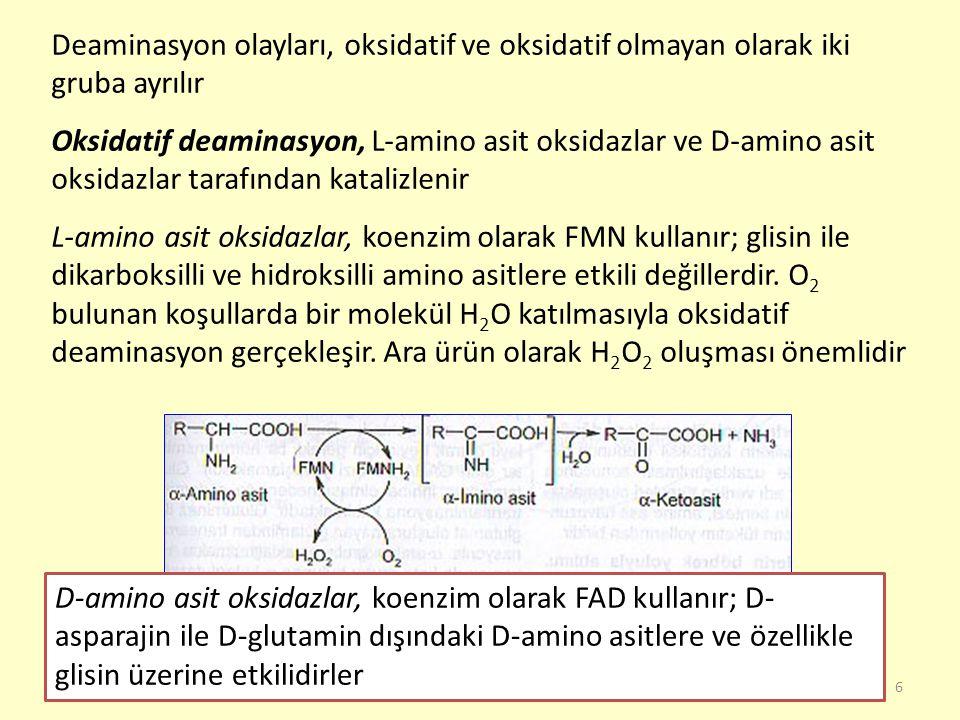 7 Amino asitlerin oksidatif olmayan deaminasyonu, çeşitli enzimler tarafından gerçekleştirilir Histidinin deaminasyonu, histidin-amonyak liyaz (histidaz) ile katalizlenir ve ürokanat oluşur Dehidratazlar, serin ve treonin gibi hidroksilli amino asitlere etkilidirler, piridoksal fosfat kullanırlar Desülfidrazlar, kükürtlü amino asitlere etkilidirler, piridoksal fosfat kullanırlar; amino grubu ile birlikte kükürtü de molekülden ayırırlar