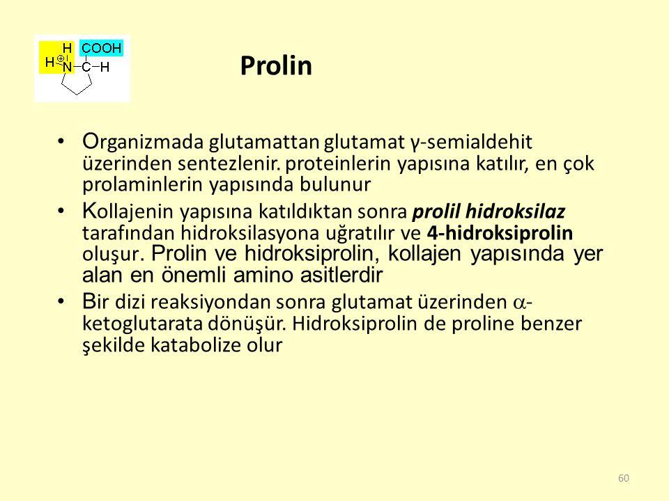 60 Prolin O rganizmada glutamattan glutamat γ-semialdehit üzerinden sentezlenir. proteinlerin yapısına katılır, en çok prolaminlerin yapısında bulunur