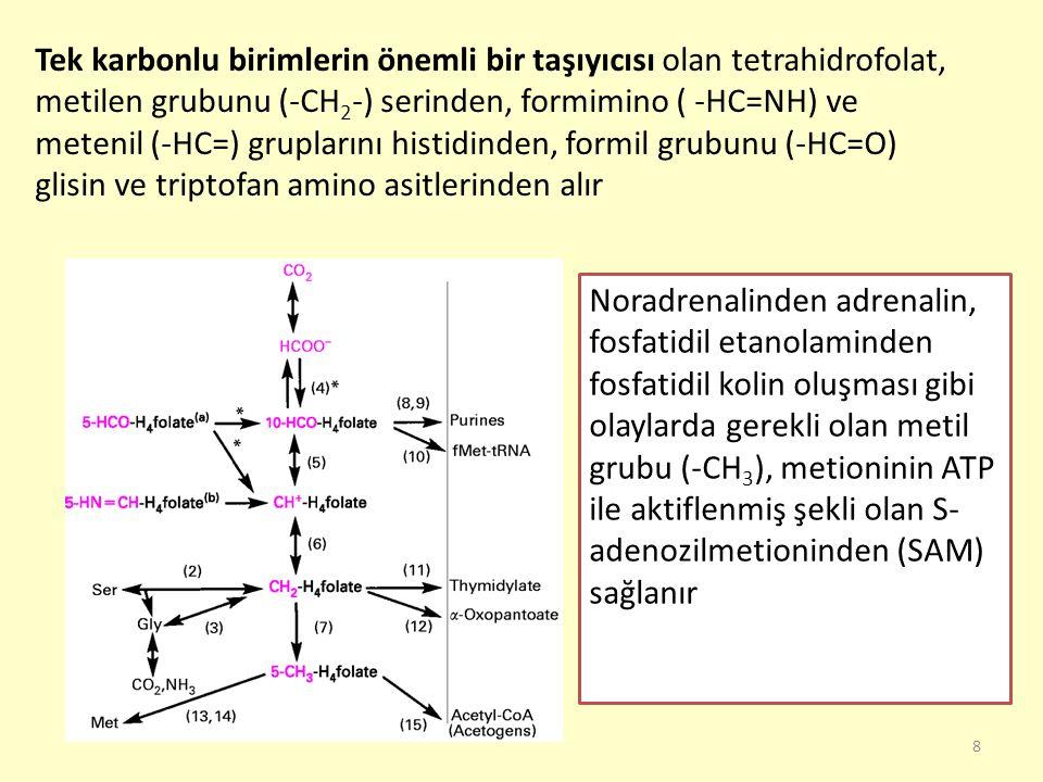 39 Glisin Pürin halkasının C-4, C-5 ve N-7 atomlarını sağlar Porfirinlerin ve hem yapısının ön maddesidir Benzoik asidin hippürik aside dönüştürülmesi gibi bazı toksik maddelerin zehirsizleştirilmesinde görev alır Safra asitleri ile konjugasyon ürünleri verir Glutatyonun yapısına katılır Kreatin ve kreatin fosfat oluşumuna katılır Serin üzerinden çeşitli ürünlere dönüşür Karaciğer ve böbrekte bulunan glisin oksidaz etkisiyle oksidatif olarak glioksalata deamine olabilir