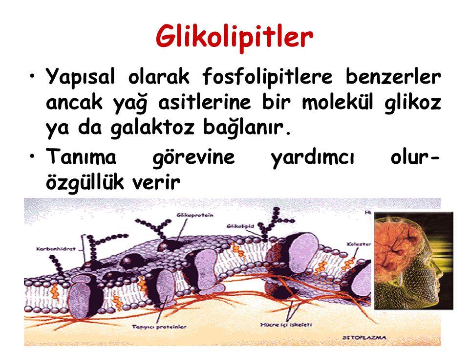 Glikolipitler Yapısal olarak fosfolipitlere benzerler ancak yağ asitlerine bir molekül glikoz ya da galaktoz bağlanır. Tanıma görevine yardımcı olur-