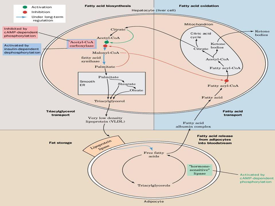 3 Yağ asitlerinin oksidasyonu Depo yağları devamlı olarak mobilize olurlar ve yerlerine yenileri depo edilir.
