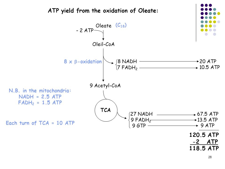 28 ATP yield from the oxidation of Oleate: Oleil-CoA 9 Acetyl-CoA 27 NADH 9 FADH 2 TCA 9 GTP 9 ATP 67.5 ATP 13.5 ATP 120.5 ATP -2 ATP 118.5 ATP 8 NADH