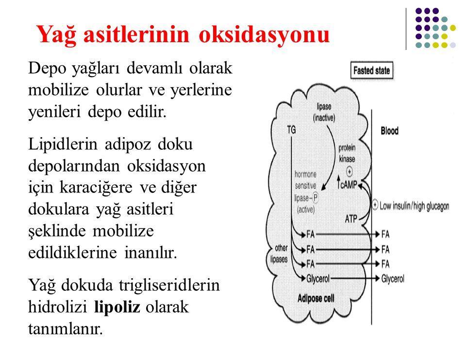 24 Aktiflenmiş yağ asidinin (yağ açil-CoA) mitokondriyal matrikse taşınması süreci, yağ asitlerinin  oksidasyonunun düzenlenmesinde hız sınırlayıcıdır.