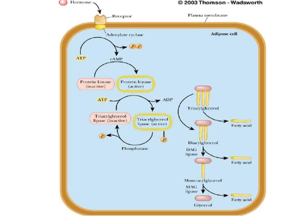 5 Depolanmış triaçilgliserollerin mobilizasyonu:Azalan kan glukoz düzeyi glukagonun salınmasınını tetikler.