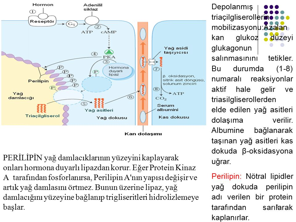 16 Yağ asitlerinin  oksidasyonu