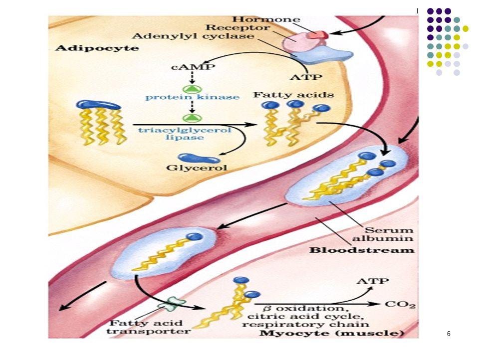 17 Yağ asitlerinin  oksidasyonu