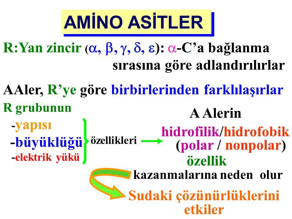 """COO - H 3 N + – C  – H R  -Amino Asit (AA) Protein yapısına katılan tüm AA'ler : """"  -AMİNO ASİTLER """" Aynı karbon (  )'a bağlı COOH ve NH 2 grubuna"""