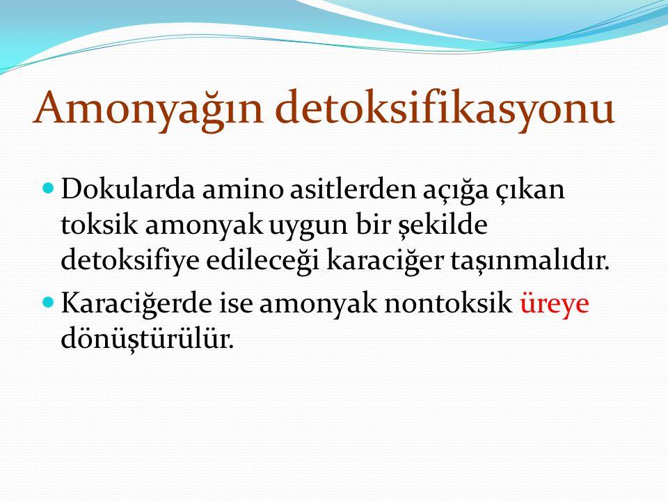 Amonyağın detoksifikasyonu Dokularda amino asitlerden açığa çıkan toksik amonyak uygun bir şekilde detoksifiye edileceği karaciğer taşınmalıdır.