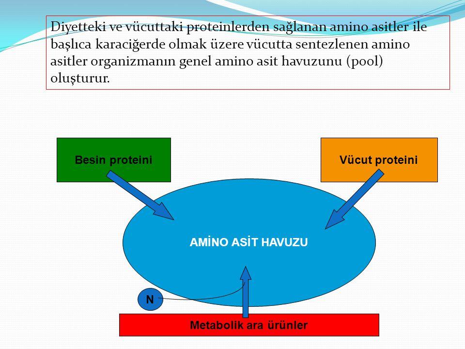 Diyetteki ve vücuttaki proteinlerden sağlanan amino asitler ile başlıca karaciğerde olmak üzere vücutta sentezlenen amino asitler organizmanın genel a