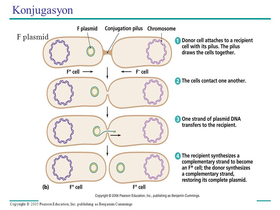 Copyright © 2005 Pearson Education, Inc. publishing as Benjamin Cummings Konjugasyon F plasmid