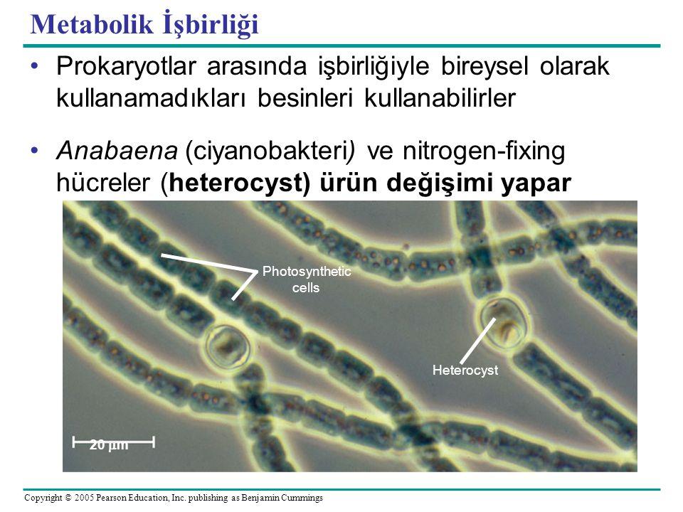 Copyright © 2005 Pearson Education, Inc. publishing as Benjamin Cummings Metabolik İşbirliği Prokaryotlar arasında işbirliğiyle bireysel olarak kullan