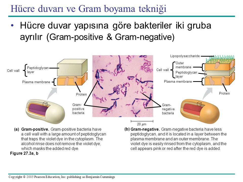 Copyright © 2005 Pearson Education, Inc. publishing as Benjamin Cummings Hücre duvarı ve Gram boyama tekniği Hücre duvar yapısına göre bakteriler iki