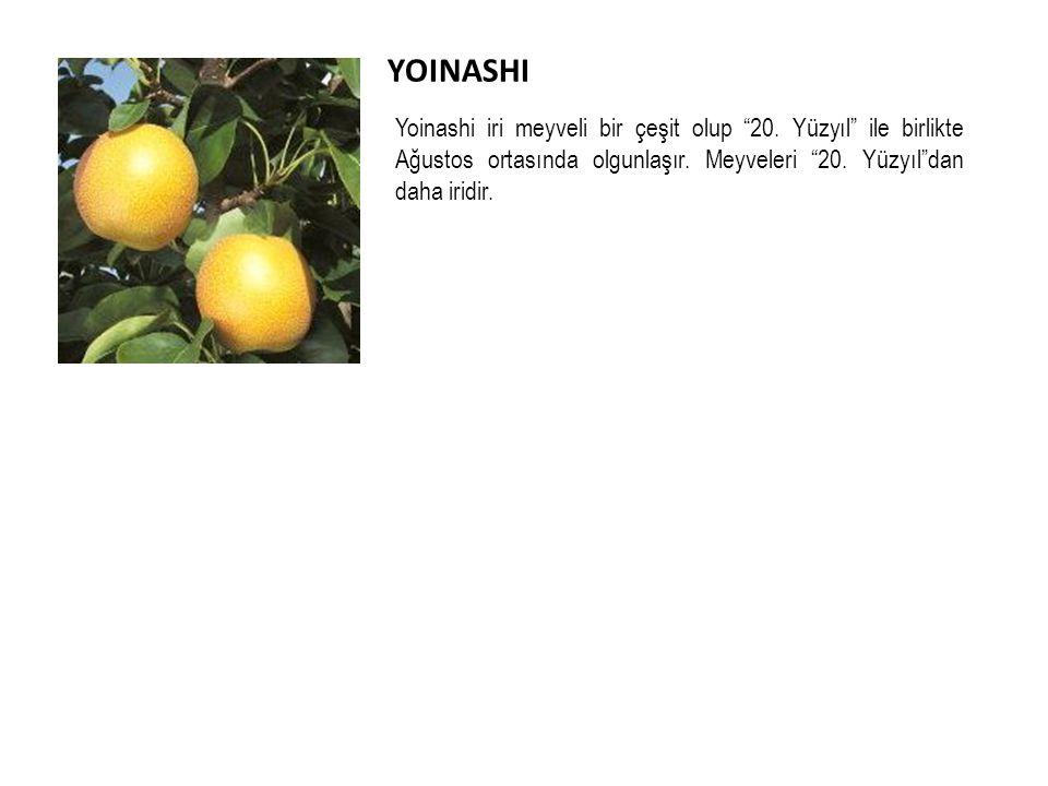 YOINASHI Yoinashi iri meyveli bir çeşit olup 20.