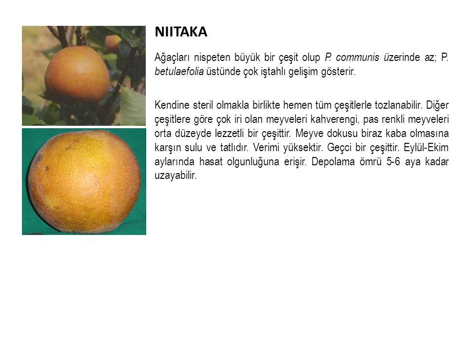 NIITAKA Ağaçları nispeten büyük bir çeşit olup P.communis ü zerinde az; P.
