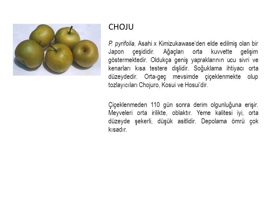 CHOJU P.pyrifolia, Asahi x Kimizukawase'den elde edilmiş olan bir Japon çeşididir.