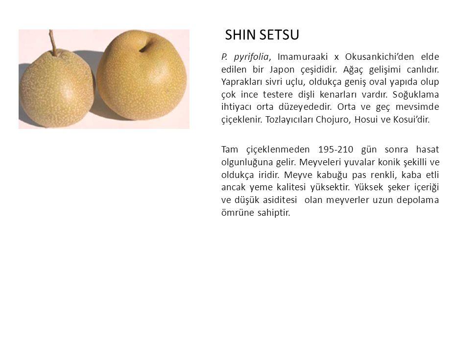 SHIN SETSU P.pyrifolia, Imamuraaki x Okusankichi'den elde edilen bir Japon çeşididir.