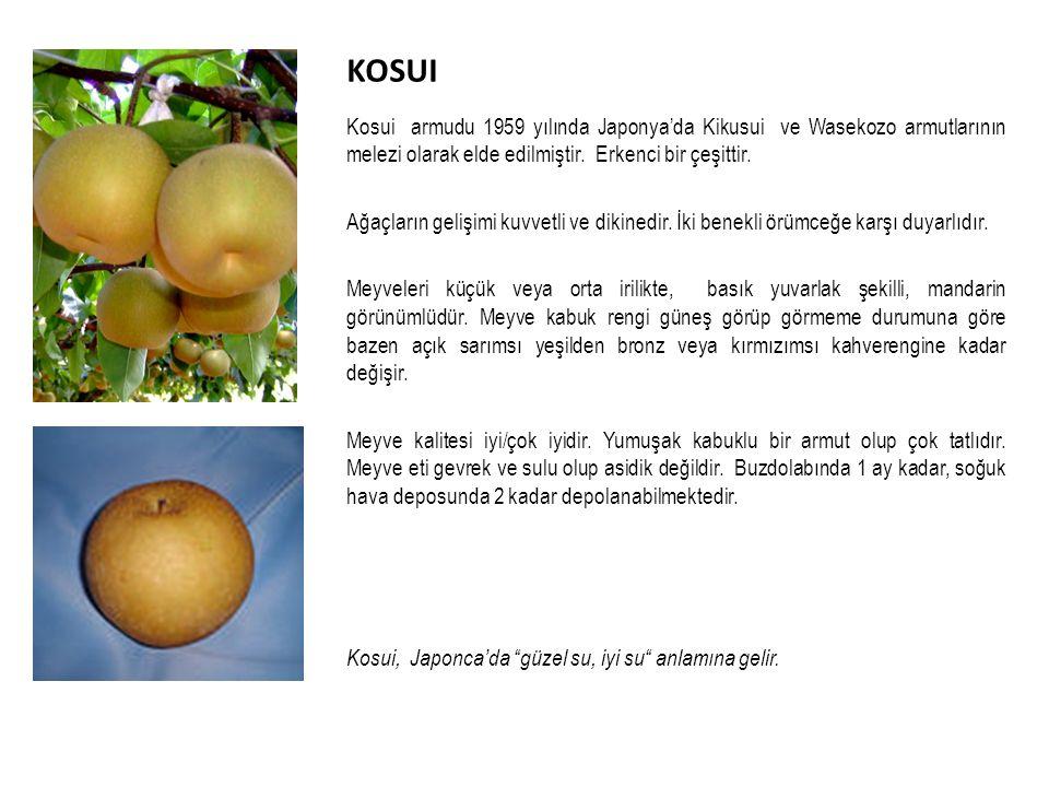 KOSUI Kosui armudu 1959 yılında Japonya'da Kikusui ve Wasekozo armutlarının melezi olarak elde edilmiştir.
