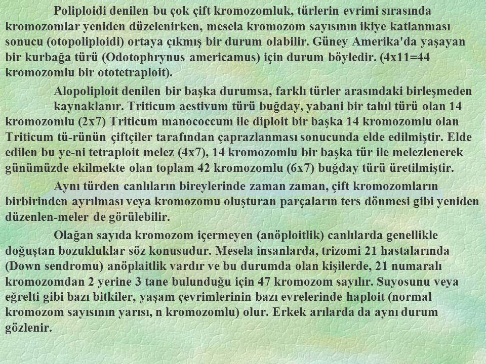 Poliploidi denilen bu çok çift kromozomluk, türlerin evrimi sırasında kromozomlar yeniden düzelenirken, mesela kromozom sayısının ikiye katlanması son