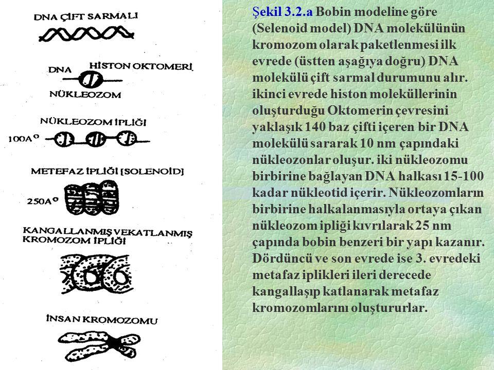 Şekil 3.2.a Bobin modeline göre (Selenoid model) DNA molekülünün kromozom olarak paketlenmesi ilk evrede (üstten aşağıya doğru) DNA molekülü çift sarm
