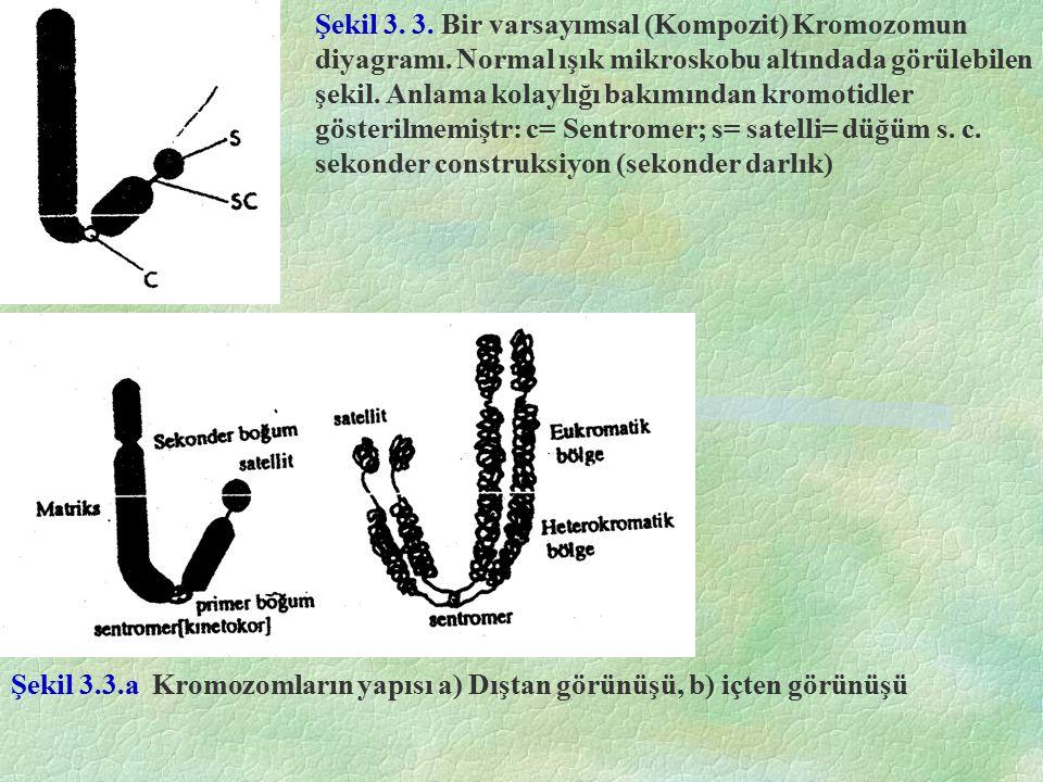Şekil 3. 3. Bir varsayımsal (Kompozit) Kromozomun diyagramı. Normal ışık mikroskobu altındada görülebilen şekil. Anlama kolaylığı bakımından kromotidl