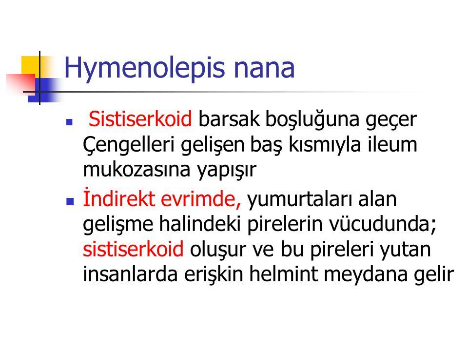 Hymenolepis nana Sistiserkoid barsak boşluğuna geçer Çengelleri gelişen baş kısmıyla ileum mukozasına yapışır İndirekt evrimde, yumurtaları alan geliş