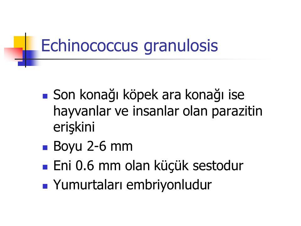 Echinococcus granulosis Son konağı köpek ara konağı ise hayvanlar ve insanlar olan parazitin erişkini Boyu 2-6 mm Eni 0.6 mm olan küçük sestodur Yumur