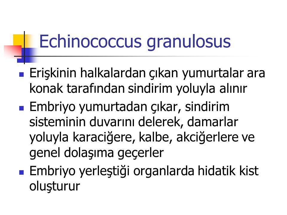 Echinococcus granulosus Erişkinin halkalardan çıkan yumurtalar ara konak tarafından sindirim yoluyla alınır Embriyo yumurtadan çıkar, sindirim sistemi