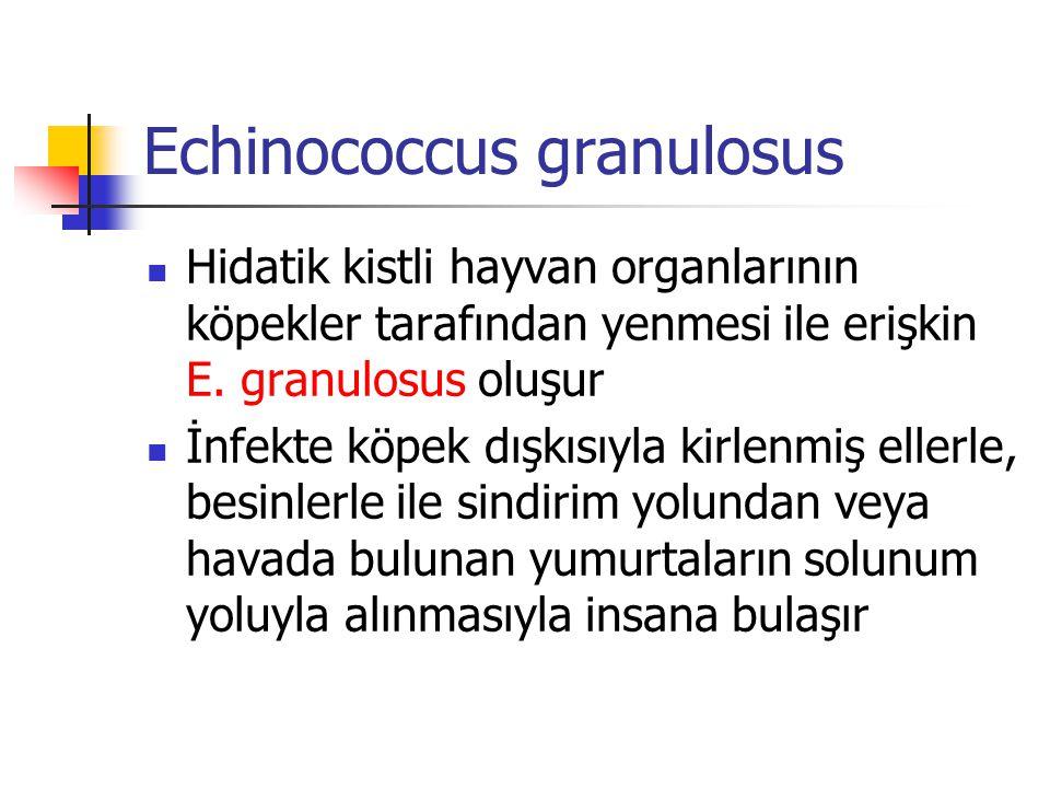 Echinococcus granulosus Hidatik kistli hayvan organlarının köpekler tarafından yenmesi ile erişkin E. granulosus oluşur İnfekte köpek dışkısıyla kirle