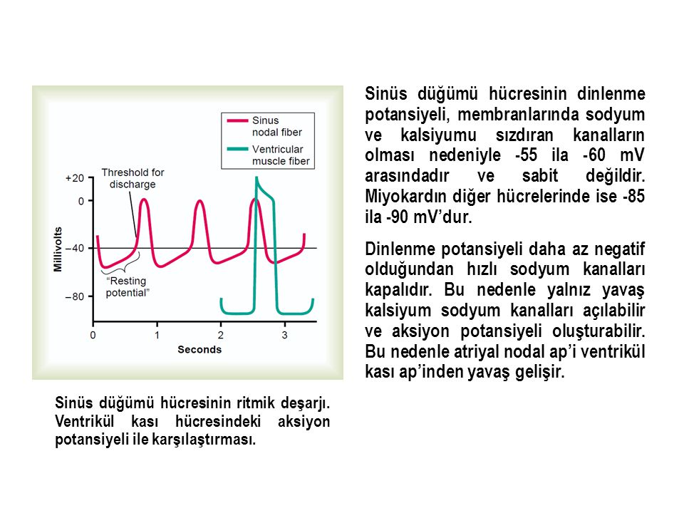 Sinüs düğümü hücresinin dinlenme potansiyeli, membranlarında sodyum ve kalsiyumu sızdıran kanalların olması nedeniyle -55 ila -60 mV arasındadır ve sa