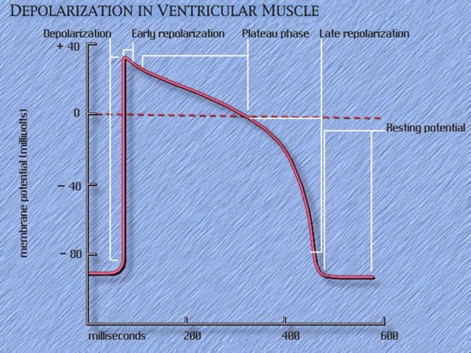 Pacemaker potansiyeline normalde yalnız S-A ve A-V düğümlerde rastlanır.