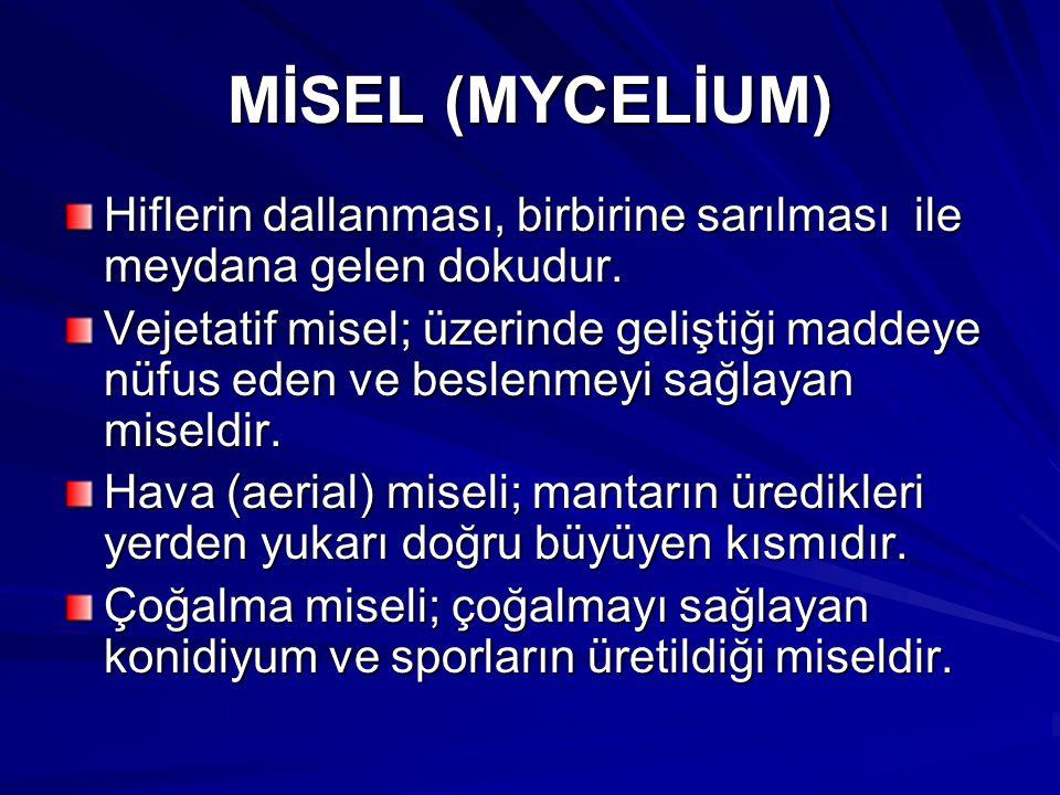 MİSEL (MYCELİUM) Hiflerin dallanması, birbirine sarılması ile meydana gelen dokudur. Vejetatif misel; üzerinde geliştiği maddeye nüfus eden ve beslenm