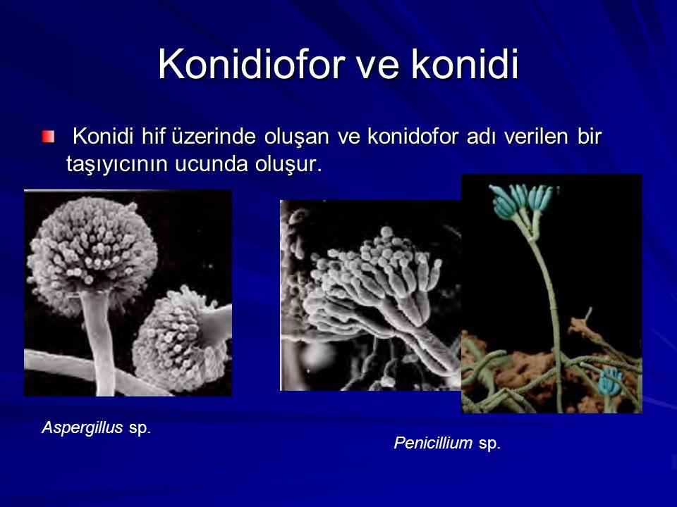 Konidiofor ve konidi Konidi hif üzerinde oluşan ve konidofor adı verilen bir taşıyıcının ucunda oluşur. Konidi hif üzerinde oluşan ve konidofor adı ve