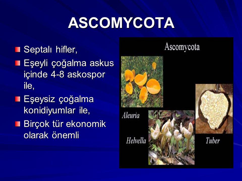 ASCOMYCOTA Septalı hifler, Eşeyli çoğalma askus içinde 4-8 askospor ile, Eşeysiz çoğalma konidiyumlar ile, Birçok tür ekonomik olarak önemli