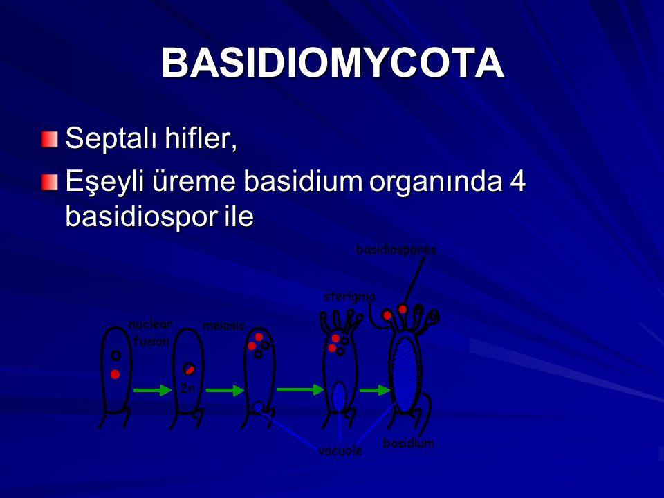 BASIDIOMYCOTA Septalı hifler, Eşeyli üreme basidium organında 4 basidiospor ile