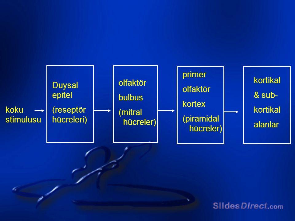 koku stimulusu Duysal epitel (reseptör hücreleri) olfaktör bulbus (mitral hücreler) primer olfaktör kortex (piramidal hücreler) kortikal & sub- kortik