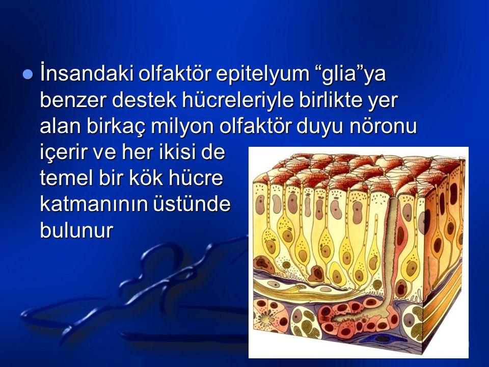 Olfactory reception Transdüksiyon Koku molekülleri