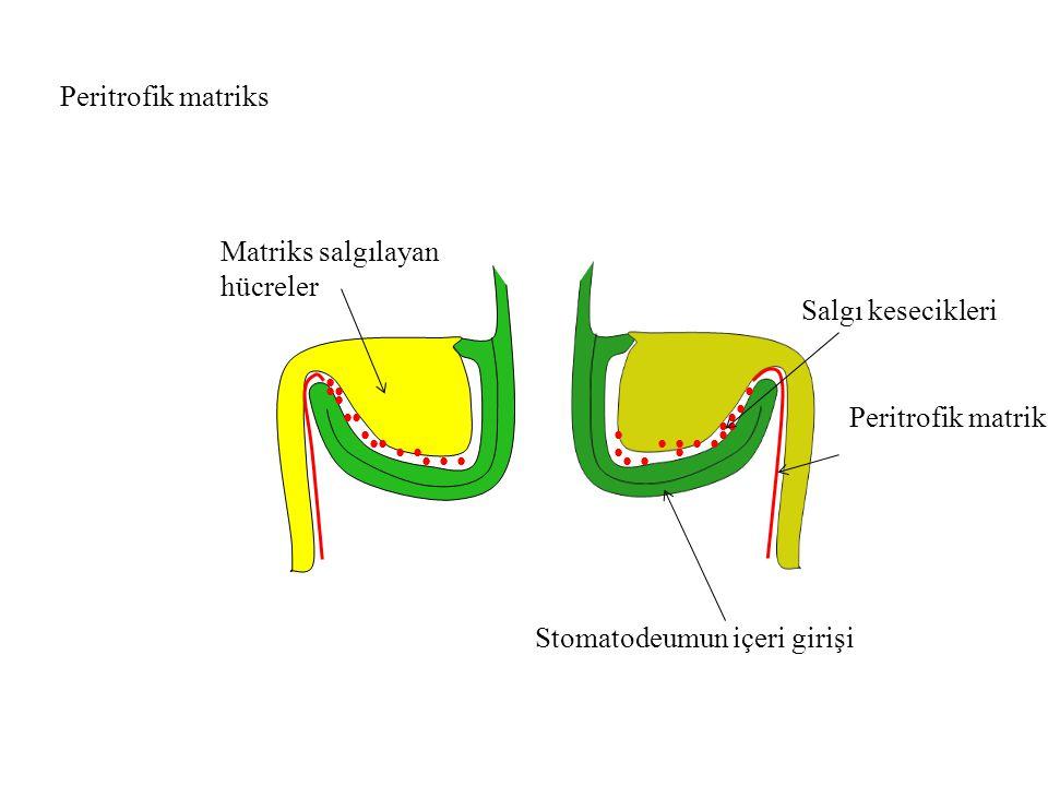 Peritrofik matriks Matriks salgılayan hücreler Stomatodeumun içeri girişi Salgı kesecikleri Peritrofik matriks
