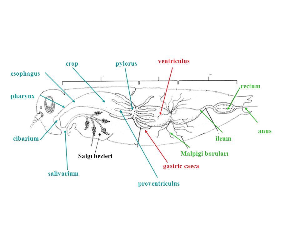 pharynx esophagus crop Malpigi boruları Salgı bezleri cibarium salivarium gastric caeca proventriculus pylorus ileum rectum ventriculus anus