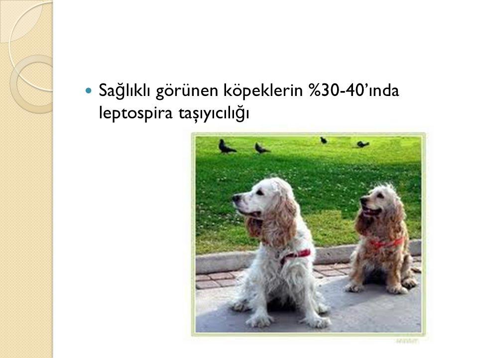 Sa ğ lıklı görünen köpeklerin %30-40'ında leptospira taşıyıcılı ğ ı