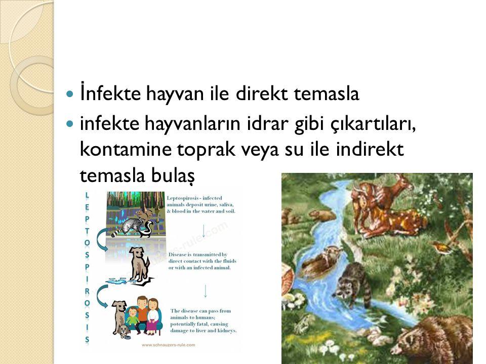İ nfekte hayvan ile direkt temasla infekte hayvanların idrar gibi çıkartıları, kontamine toprak veya su ile indirekt temasla bulaş