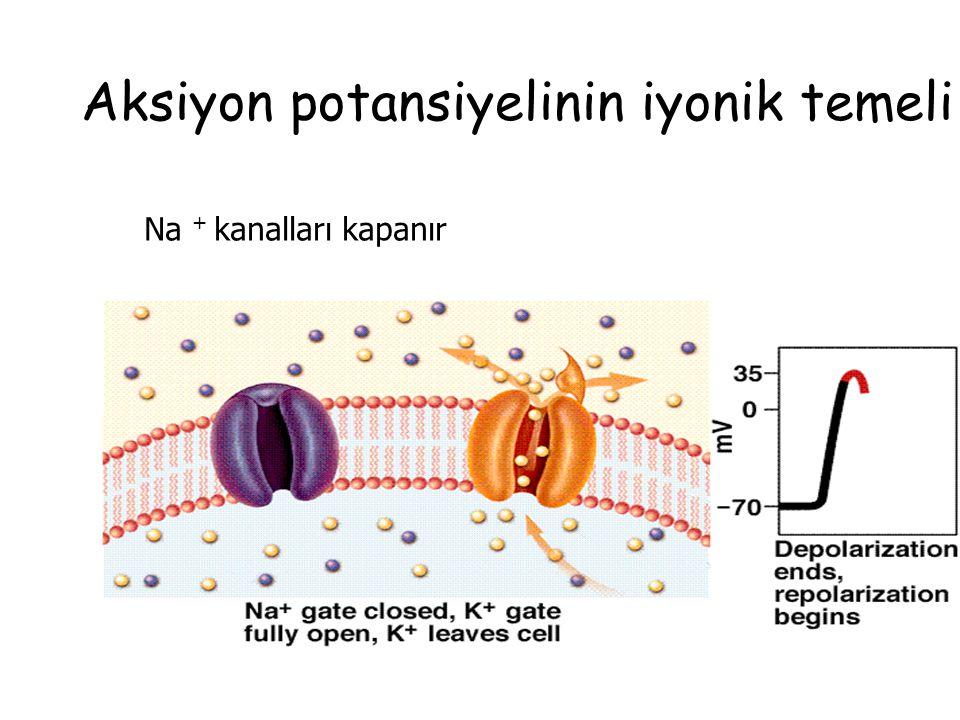 Aksiyon potansiyelinin iyonik temeli Na + kanalları kapanır