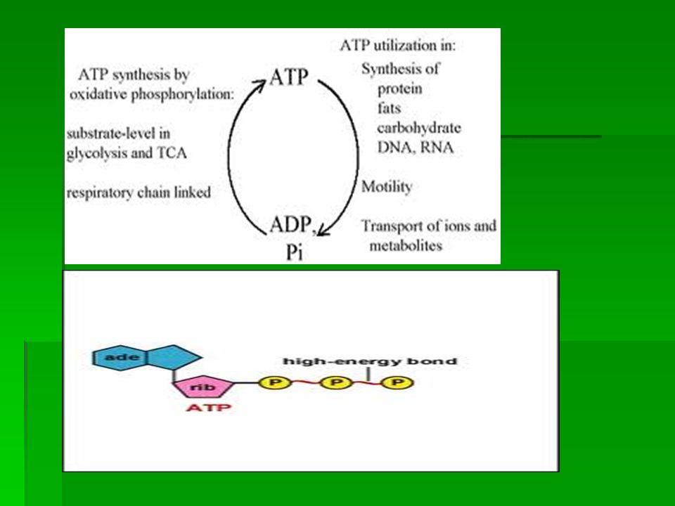  Besinler + O 2 + inorganik fosfat →ATP + ısı  ATP→ kas çalışması ve diğer yapım yıkım olayları + ısı  Oksidasyon enerji gereksinimine göre ve vücut ısısında meydana gelir.