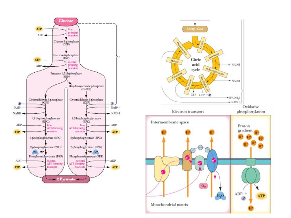  Birçok hücre, özellikle de sinir sisteminde enerji metabolizmasında anahtar bir rol oynar  Tiamin eksikliğinde bu iki dehidrogenez rxn.un aktivitesi   ATP üretimi   hücre fonksiyonları bozulur  Tiamin eksikliğinin erken belirtileri; iştahsızlık, konstipasyon, bulantı, mental depresyon, periferal nöropati, irritablite ve yorgunluk Tiamin