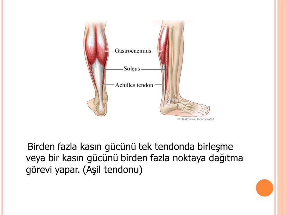 Birden fazla kasın gücünü tek tendonda birleşme veya bir kasın gücünü birden fazla noktaya dağıtma görevi yapar. (Aşil tendonu)